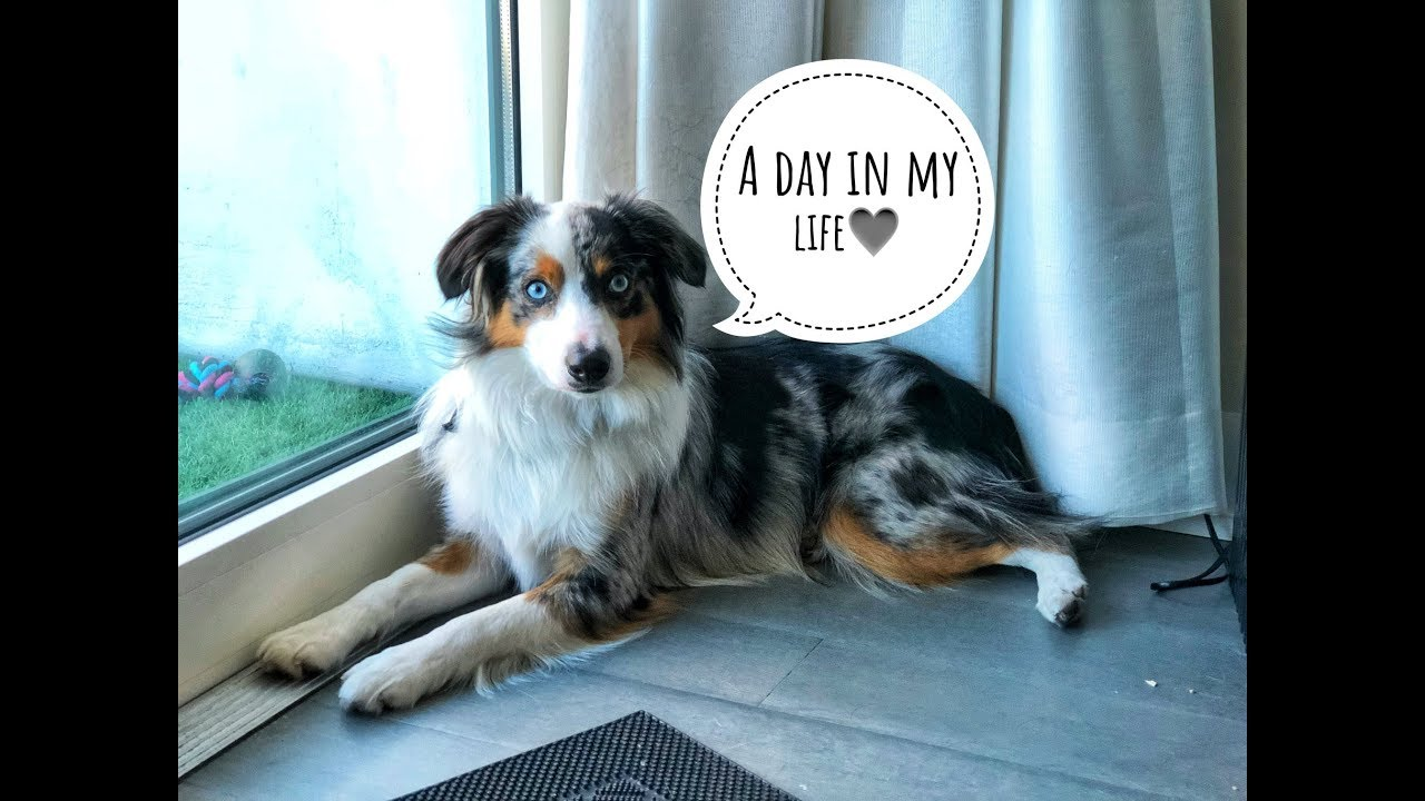 A Day In The Life Of My Mini Aussie