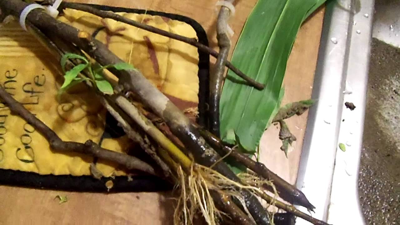 Pussy Willow Cuttings
