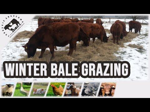 Angus Czerwony - wypas zimowy(Winter bale grazing)