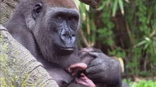 Awww! Two cute baby gorillas born at New York Bronx Zoo