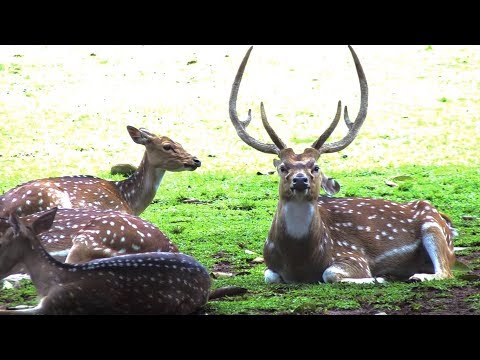 The deer of Bogor Palace in Indonesia