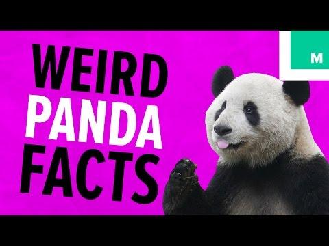 7 Weird Panda Facts, Because PANDAS | Fuzzy Friday