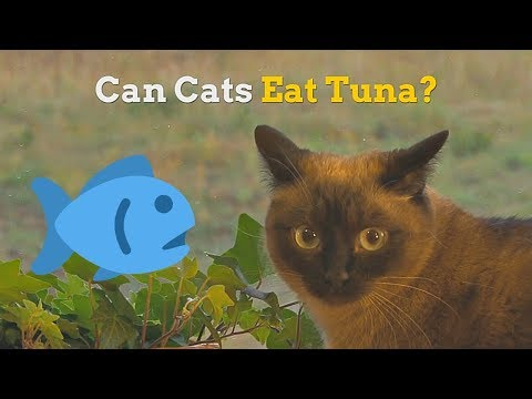 Can Cats Eat Tuna | How Healthy Is This Fish For Your Kitten