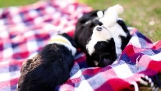 3 week old Sheepadoodle puppies!