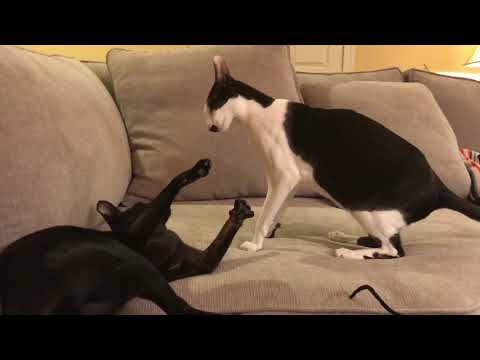 When house cats play fight for victory