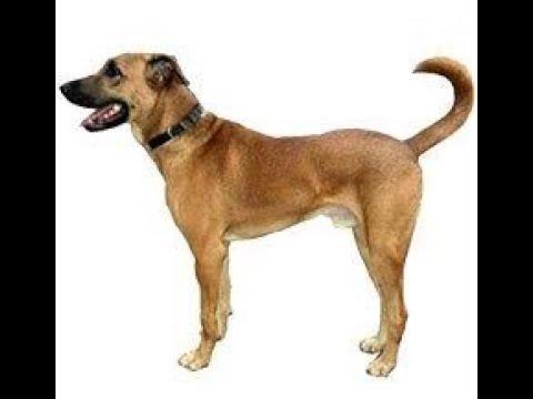 the-indian-kombai-breed