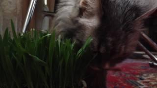 Кот Каспер,19 лет , ест траву.