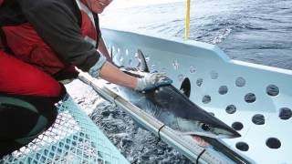 Tagging Mako and Blue Sharks