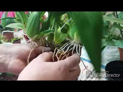 Пересадка очень крупной орхидеи онцидиум. Что в горшке?Можно сделать дренаж.