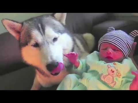 Chó husky sibir & Những khoảnh khắc vui nhộn