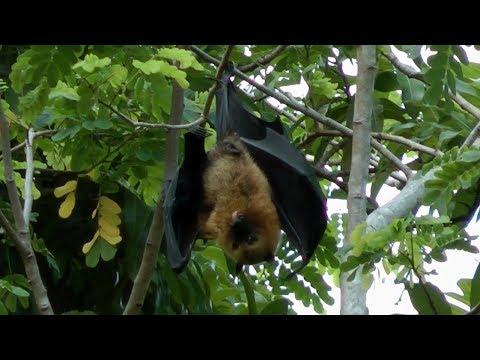 Fruit bats, Seychelles