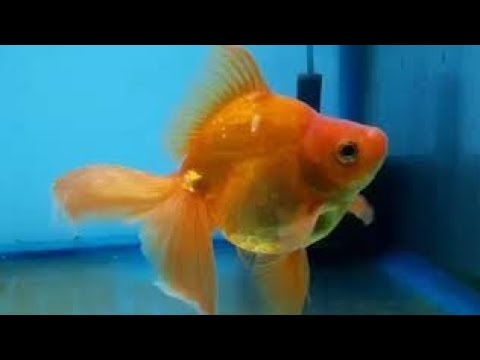 3 Years Old Goldfish And Redcap   Full Growth Of Goldfish And Redcap  