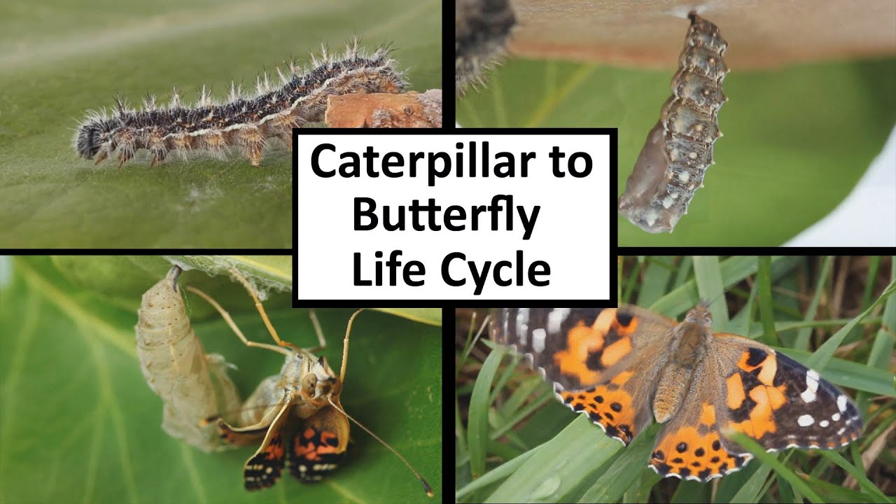 life cycle of a butterfly Add some excitement to your instruction on the life cycle of the butterfly with the help of a studycom text lesson and engaging in-class activity.