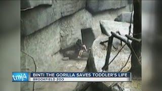 Flashback: Gorilla Comforts Child Who Fell at Illinois Zoo