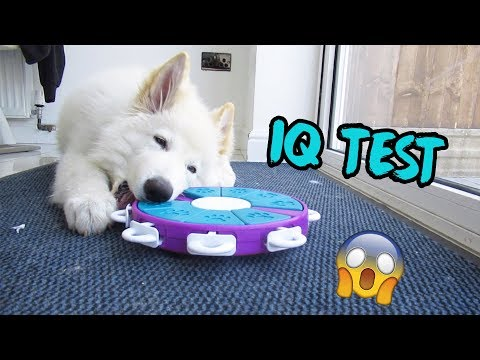 testing-my-german-shepherd's-intelligence-(iq-test)
