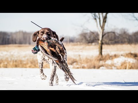 Hunting Minnesota Public Land Pheasants After The First Snow | The Flush: Season 10, Episode 6
