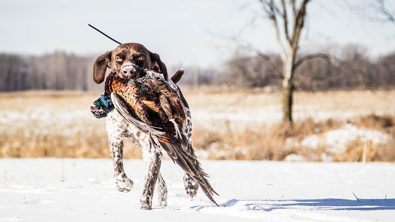 Download Hunting Minnesota Public Land Pheasants After The First Snow | The Flush: Season 10, Episode 6