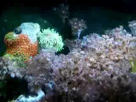 20L Wild Reef,HUGE Pulsating Xenia, Bright Orange Zoanthids