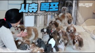 시츄가 많으면 할 수 있는 것 1 ㅣThe Shih Tzus' Tide Is Flowing (What You Can Do With Lots Of Shih Tzus EP1)