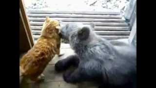 Выкса. Кот избил медведя.
