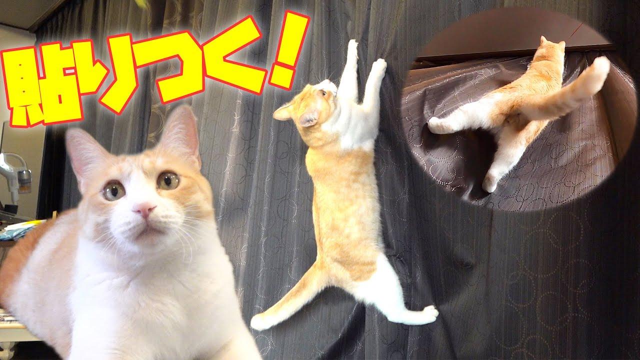テンションが上がるとカーテンに貼りついちゃう猫がこちらです