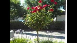 Standard Size Tree Rose Mr Lincoln