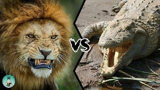 LION VS CROCODILE - Who Would Win?