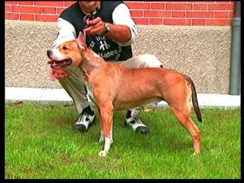American Staffordshire Terrier - Pet Dog Documentary English