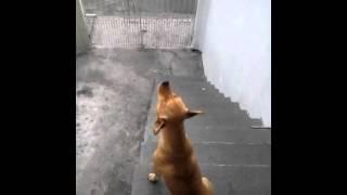 Cachorro uivando