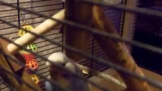 Волнистые попугаи ЧЕХИ  играют  с игрушкой
