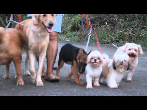 Golden Retriever teaches German Shepherd puppy how to walk on-leash.