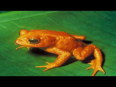 Evolution of the frog: linked to dinosaurs impact of asteroid.