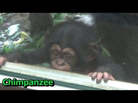 Tama chimpanzee family 224  チンパンジー一家の日常 【多摩動物公園】