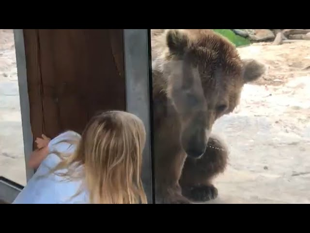 Bear Plays Peekaboo With Girl Through Glass