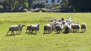 Concours chien de berger 8 octobre 2017 Ascain Pays Basque