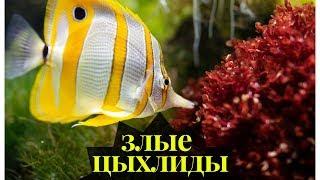 Рыбки цихлиды.