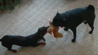 Miniature Dachshund  Vs.  Pug