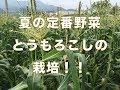 トウモロコシの栽培 とうもろこしから穂が出てから収穫までの様子