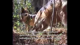 Lobo mexicano (Canis lupus baileyi) en condiciones de semicautiverio