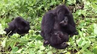 Trampled by world's 2nd largest mountain gorilla