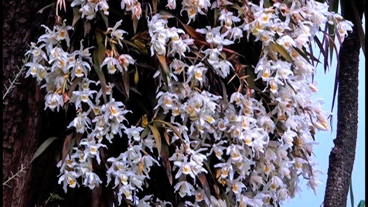 Sunakhari Wild Orchid Flower Of Sikkim Youtube