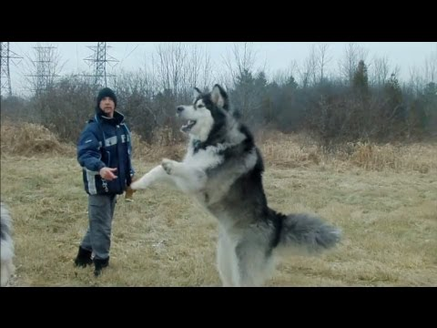 Giant Alaskan Malamutes - Unleashing the Hounds on the World