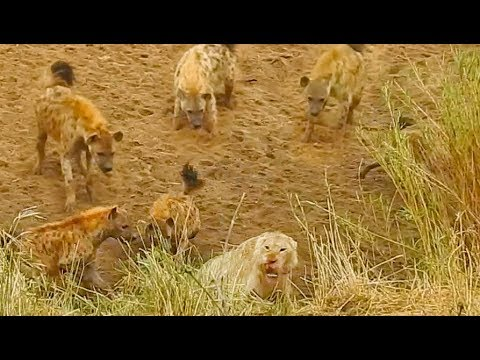 Lion Cornered by Hyenas Calls for Backup