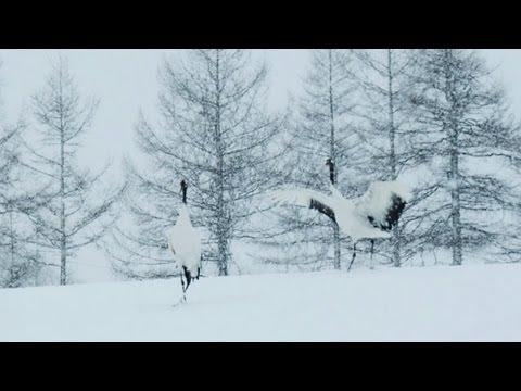 雪の丹頂鶴・タンチョウ Red-Crowned Crane(Shot on RED ONE High speed)