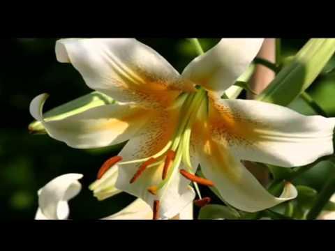 как у нас на озере лилии цветут