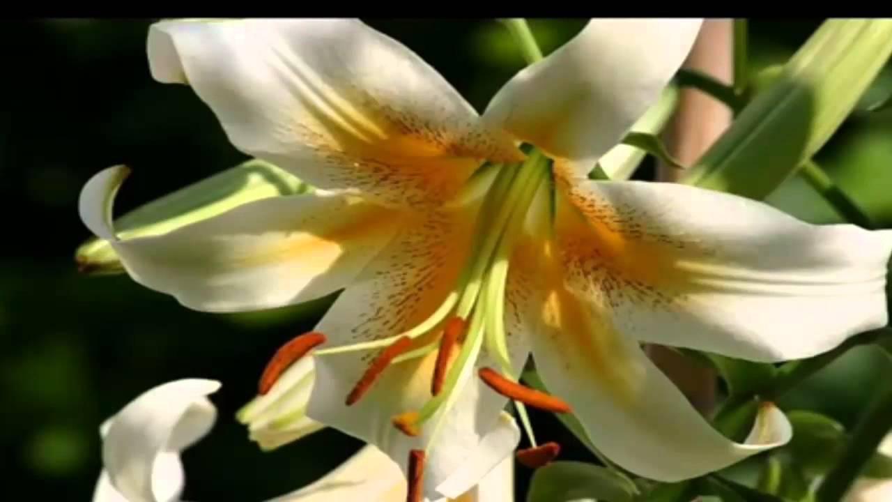 Песня лилии цветут