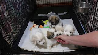 Coton Puppies For Sale - Ireland 10/14/20