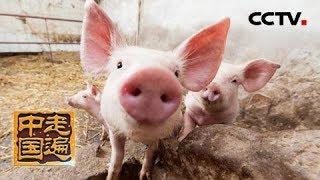 《走遍中国》 20190318 动物疫苗大王| CCTV中文国际