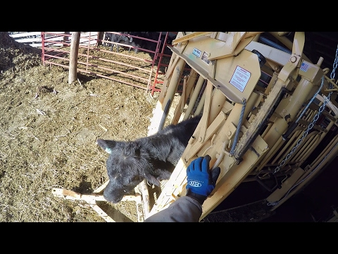 Graphic: Tagging & Castrating Cattle