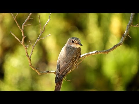 Papamoscas gris (Muscicapa striata) Spotted Flycatcher 4K